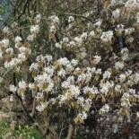 Downy Juneberry by Salicyna