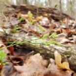 Oak Sedge by Mason Brock