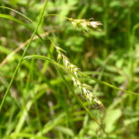 Long Beaked Sedge by Matt Lavin