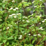 Red Osier Dogwood by Cephas