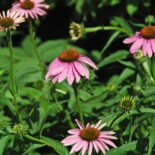 Purple Coneflower by James St. John