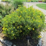 Shrubby St. John's Wort by Leonora (Ellie) Enking