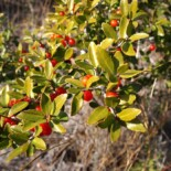 Yaupon Holly by Luteus