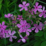 Prairie Phlox by Joshua Mayer