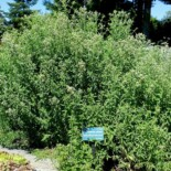 Hairy Mountain Mint by Daderot