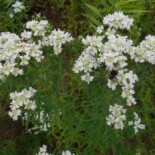 Mountain Mint by Salicyna