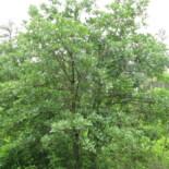 Post Oak by Choess