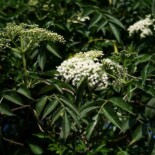 Elderberry by Franz Xaver