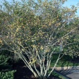 Smooth Serviceberry by David J. Stang