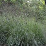 Big Bluestem Grass by T. Voekler