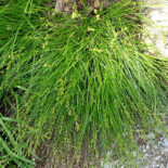 Straight-styled Wood Sedge by Daderot