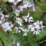 Heart-leaved Aster by R. A. Nonenmacher