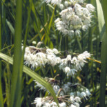 Nodding Onion by U.S. Environmental Protection Agency