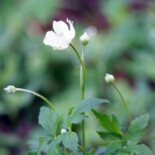 Tall Thimbleweed by Randy A. Nonenmacher