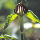 Jack-in-the Pulpit by U.S. Environmental Protection Agency
