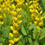 Yellow Wild Indigo by Derek Ramsey