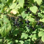 Wild Black Currant by Gene s~commonswiki