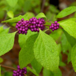 American Beautyberry by Eric Hunt