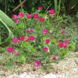 Purple Poppy Mallow by peganum