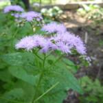 Blue Mistflower by Kingdon