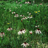 Pale Purple Coneflower by USDA-NRCS PLANTS Database