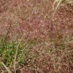 Purple Lovegrass by David J Stang