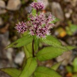 Sweet Joe Pye Weed by Tatters