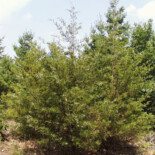 Eastern Red Cedar by Sherburne National Wildlife Refuge