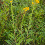 Stiff Goldenrod by U.S. Environmental Protection Agency