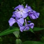 Garden Phlox by BFF