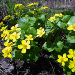 Marsh Marigold by Sarah Bormann