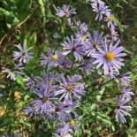 Smooth Blue Aster by Kathleen Houlahan Chayer