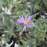 Silky Aster by peganum