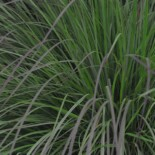Little Bluestem Grass by BBC Gardeners World, 2017