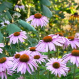 Narrow-Leaved Coneflower by Dy-e