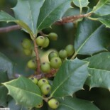American Holly by David J. Stang