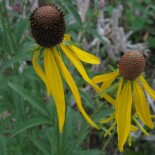 Yellow Coneflower by Frank Mayfield from Chicago area, US