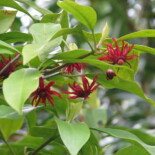 Florida Anise by peganum from Small Dole, England