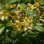 Florida Flame Azalea by https://commons.wikimedia.org/wiki/File:Rhododendron_austrinum_14zz.jpg