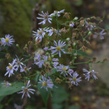 Crooked-stem Aster by Averater