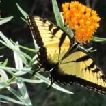 Butterfly Weed by