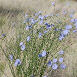 Blue Flax by Skoch3