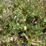 Scrub Oak by Kenraiz