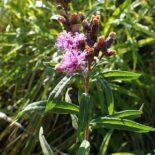 Prairie Ironweed by Kenraiz