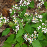 White-Wood Aster by R. A. Nonenmacher