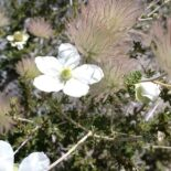 Apache Plume by Andrew Hart