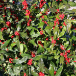Winterberry Holly by David J. Stang