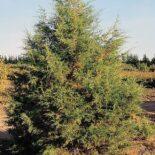 Rocky Mountain Juniper by USDA-NRCS PLANTS Database / Herman, D.E