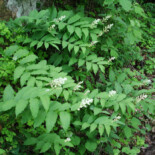 Feathery False Solomon's Seal by Jaknouse