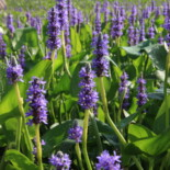 Pickerelweed by Cephas